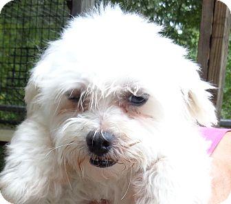 Maltese Dog for adoption in Crump, Tennessee - Little Bit
