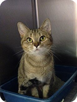 Domestic Shorthair Cat for adoption in Colonial Heights, Virginia - Amber