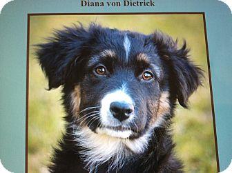 German Shepherd Dog/Border Collie Mix Puppy for adoption in Los Angeles, California - DIANA VON DIETRICK