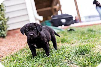 Labrador Retriever Mix Puppy for adoption in Charlotte, North Carolina - Sebastian