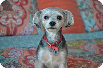 Yorkie, Yorkshire Terrier/Silky Terrier Mix Dog for adoption in Staunton, Virginia - Jackson