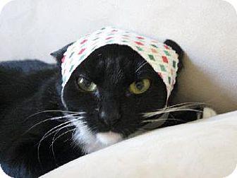Domestic Shorthair Cat for adoption in Walnut Creek, California - Gypsy