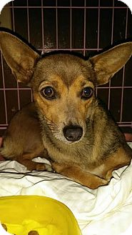 Dachshund/Jack Russell Terrier Mix Dog for adoption in Fullerton, California - Canella