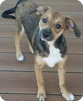 Beagle/Miniature Pinscher Mix Puppy for adoption in Richmond, Virginia - Genny