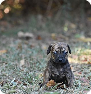Dachshund Mix Puppy for adoption in South Dennis, Massachusetts - Darby