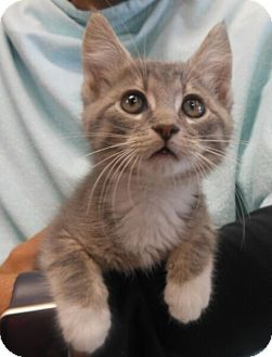 Domestic Shorthair Kitten for adoption in Reston, Virginia - Emmet