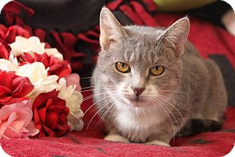 Domestic Shorthair Cat for adoption in Putnam, Connecticut - Momma Anna