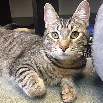Domestic Shorthair Kitten for adoption in Westminster, California - Cammi