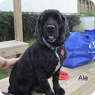 Cocker Spaniel Mix Dog for adoption in Slidell, Louisiana - Ale