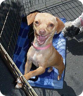 Chihuahua/Dachshund Mix Dog for adoption in Tacoma, Washington - Dotty