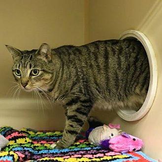 Domestic Shorthair/Domestic Shorthair Mix Cat for adoption in Morgan Hill, California - Agatha