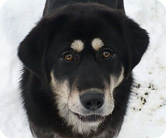 Tibetan Mastiff Dog for adoption in Houghton, Michigan - Glayva