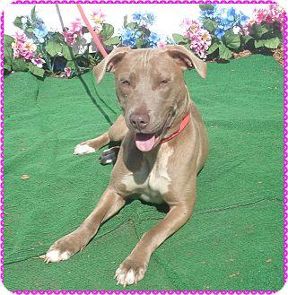 Weimaraner Mix Dog for adoption in Marietta, Georgia - LIZZY