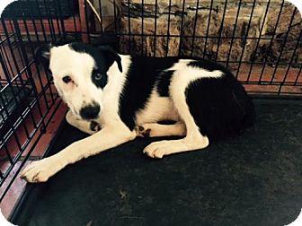 Border Collie Mix Dog for adoption in Olympia, Washington - Lucky W
