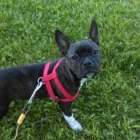 Adopt A Pet :: Pending Adoption PENELOPE - Greensboro, NC