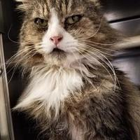 Domestic Shorthair/Domestic Shorthair Mix Cat for adoption in Chestertown, Maryland - Clyde