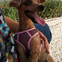 Adopt A Pet :: P!nk - Mukwonago, WI