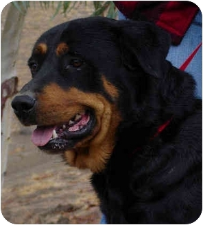 Rottweiler Mix Dog for adoption in Bakersfield, California - Mannheim