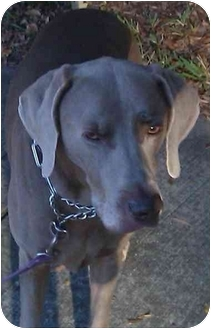 Weimaraner Dog for adoption in Eustis, Florida - Kole