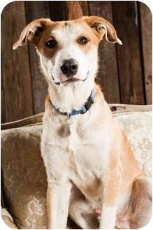 Labrador Retriever/Border Collie Mix Dog for adoption in Portland, Oregon - Coulee