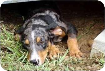 Dachshund Mix Puppy for adoption in Albany, Georgia - Tesa