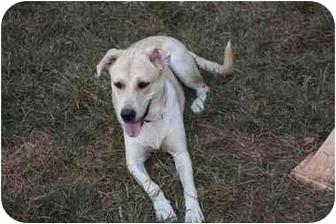 Labrador Retriever Mix Dog for adoption in Prince William County, Virginia - sugar