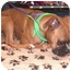 Photo 4 - Boxer Dog for adoption in Turnersville, New Jersey - Bella