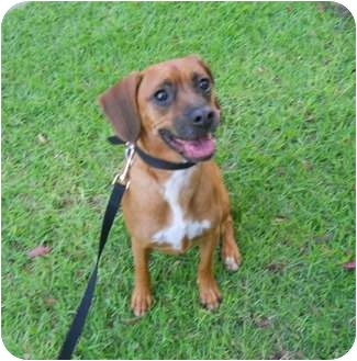 Boxer/Chihuahua Mix Dog for adoption in Bellflower, California - Rayder