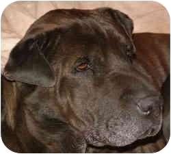 Shar Pei/Labrador Retriever Mix Dog for adoption in Beloit, Wisconsin - Miss Deuce