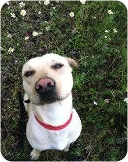 Labrador Retriever/Pit Bull Terrier Mix Dog for adoption in Anchorage, Alaska - Ayeu
