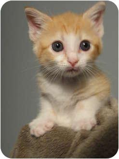 Domestic Shorthair Kitten for adoption in Houston, Texas - Ginger