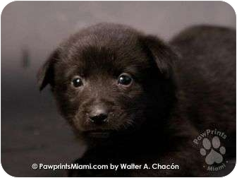 Labrador Retriever/Shar Pei Mix Puppy for adoption in Miami-Dade and Naples/Ft Myers areas, Florida - CHARLY