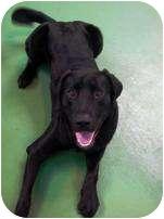 Labrador Retriever Mix Dog for adoption in Torrance, California - Vance