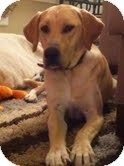 Labrador Retriever Mix Dog for adoption in Lewisville, Indiana - Finn