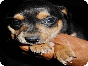 German Shepherd Dog Mix Puppy for adoption in San Diego, California - Venus