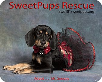 Beagle Mix Puppy for adoption in Vidor, Texas - Ms. Snoopy