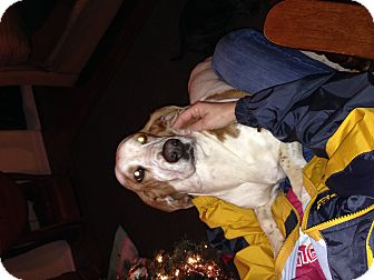 Basset Hound Dog for adoption in Columbia, South Carolina - Dixie