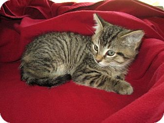 Domestic Shorthair Kitten for adoption in Richland, Michigan - Dewey
