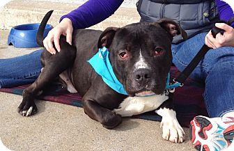Pit Bull Terrier Mix Dog for adoption in Trenton, New Jersey - Apollo