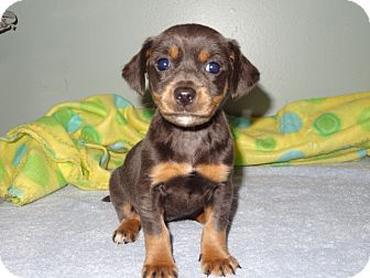 Chihuahua/Dachshund Mix Puppy for adoption in Wilminton, Delaware - Jasmine