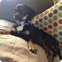 Adopt A Pet :: Meena - Phoenix, AZ