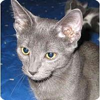Adopt A Pet :: Frisco kitten - LUVbug - Cincinnati, OH