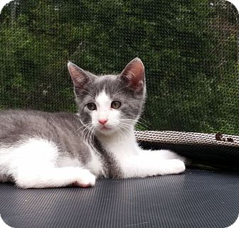 Domestic Shorthair Kitten for adoption in Chattanooga, Tennessee - Monroe