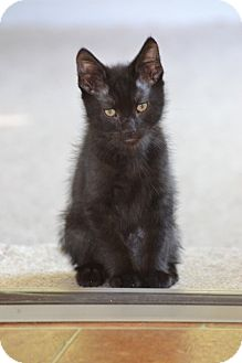 Domestic Shorthair Kitten for adoption in St. Louis, Missouri - Griffin