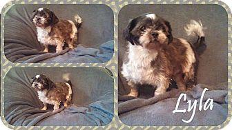 Shih Tzu Dog for adoption in DOVER, Ohio - Lyla