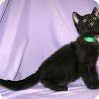 Domestic Shorthair Cat for adoption in Powell, Ohio - Petey