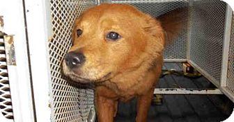 Chow Chow/Golden Retriever Mix Dog for adoption in Newnan City, Georgia - Honey