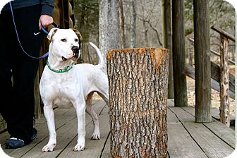 American Bulldog/Pit Bull Terrier Mix Dog for adoption in Chattanooga, Tennessee - George