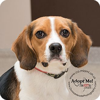 Beagle Mix Dog for adoption in Troy, Ohio - Max-ADOPTED