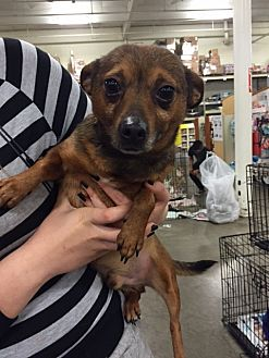 Terrier (Unknown Type, Medium) Mix Dog for adoption in Fresno, California - Dexter